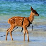deer on beach