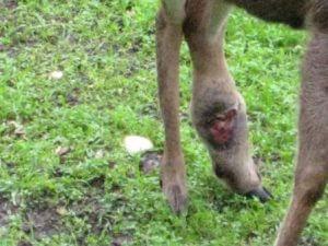 buck injury