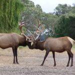 deers antler to antler